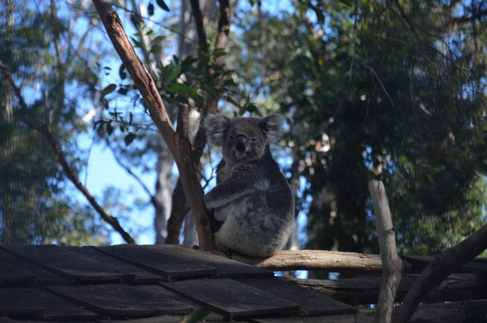 Bei der Planung meiner Australien Ostküste Route für 3 Wochen schaute ich so aus der Wäsche wie dieser Koala.